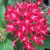 ペンタスの花