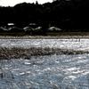 冬の手賀沼と蘆の中で餌を探すカモたち