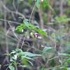 タカネハンショウヅル   白花は白無垢!