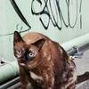 アソークの(でぶタイ猫)。食べてもこんなにはなりたくない!