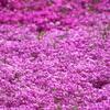 見頃を迎えている羊山公園の芝桜
