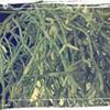リプサリスの葉
