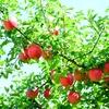 果樹の「摘果作業」とは?