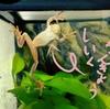 北海道で冬眠させずにアマガエルを飼う!ウチのカエル飼育環境をご紹介