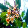 【癒しの石垣島から〜】アトピー体質などで悩む方々と月桃とに今後、縁があることを祈ります。