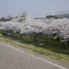 流山のお花見スポット「におどり公園」の桜は圧巻!