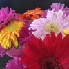 ファイトカラーの花を活けてみました。