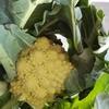 おしゃれ野菜⁉『ロマネスコ』💕