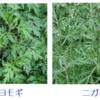 薬用としてのヨモギ(1)