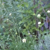 シルバーの葉、ブルーの花