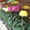八王子菊花展と八王子支部盆栽展とおもと名品展に行ってきました