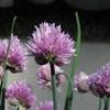 チャイブの花が咲きだしました。花も楽しめるハーブ
