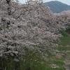 櫻満開  飛騨  古川  宮川の櫻と雪山