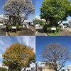 キャンパス内樹木の定点撮影