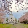 第286回blog♪近所の桜