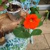 オレンジ色のナスタチウム咲く