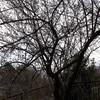 お散歩スナップ  梅の花を標準単焦点レンズで撮影