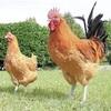 名古屋コーチン、新種鶏を開発…体重が1割増
