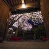 三度、光徳寺さんの夜桜へ@2020
