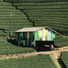 【和束町・イベント】茶畑ビューイング2017の見どころをご紹介!茶畑アートも!