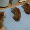 【多頭飼い】猫用の食器をステンレス(ダイソー)に変えて食事台(3coins)も用意
