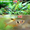 (熱帯魚)カージナルテトラ(ワイルド)(10匹) + レッドファントム・テトラ(6匹) 北海道・九州航空便要保温