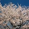 フイルム写真館 CANON EOS-1N~その3『桜咲く』