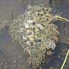 ニホンアカガエルの卵塊を1つだけ見つけた