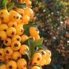 カラダの中から健康的に美しく「ゴールデンベリー」の注目される美容効果とは