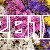 【2018年】「スターチス出荷量」ランキング