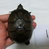 トウブドロガメ子亀達