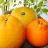 「熊本県天草の柑橘」今まさに旬なリ。