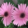 家の花たち、衝動買いの花たち