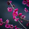 【Portfolio】ume blossom.