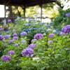 多摩川台公園のあじさい園【D810+NIKKOR50mmf1.8】