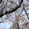 病院通いと桜と