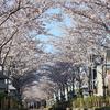 【鎌倉いいね】人生がどうであれ。鎌倉の桜は見頃で美しい(3月29日現在)。