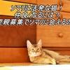 ソマリは活発な猫!仲良くなるには?里親募集でソマリに会えるの?