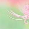 矢勝川堤のピンク色の彼岸花