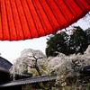 十輪寺で「なりひら桜」を初めて愛でる@2019