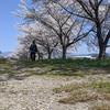 【桜満開】会津に住むおじさんが日曜日に小田橋の河川敷で一人花見をした話。【お花見】