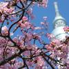 高倍率ズームの便利さを再確認した河津桜×スカイツリー