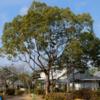 スダジイを知っていますか?   樹木ウオッチング(6)スダジイ