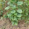 サツマサンキライ  今花が咲く