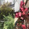 銅葉とピンクの鞘が美しい個性的な庭木:ドドナエア(ホップブッシュ)の成長記録
