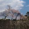 駿府城公園内堀の桜