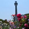 マリンタワー×バラ、氷川丸×バラ。横浜・山下公園は今フォトジェニック!