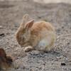 大久野島のウサギ:顔を洗う姿に癒やされます!