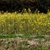 手賀沼遊歩道の菜の花とコブハクチョウ