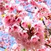 桜の開花🌸今年は早いぞ!!